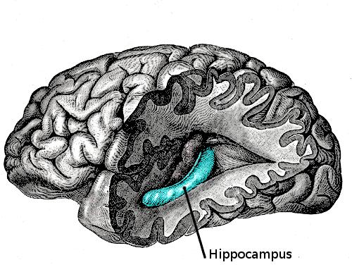 illustration de l'hippocampe, responsable du transfert de la mémoire à court terme vers la mémoire à long terme